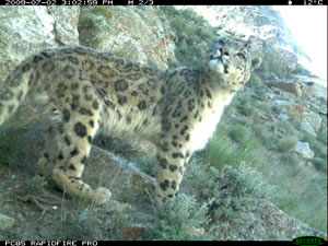 camera trapped snow leopard image courtesy Wildlife Conservation Society