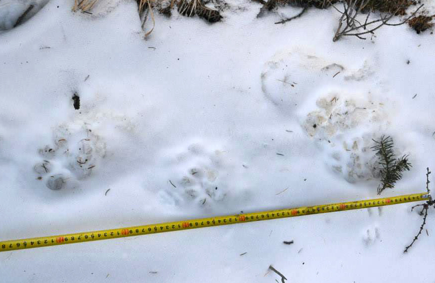 Snow leopard tracks in the snow