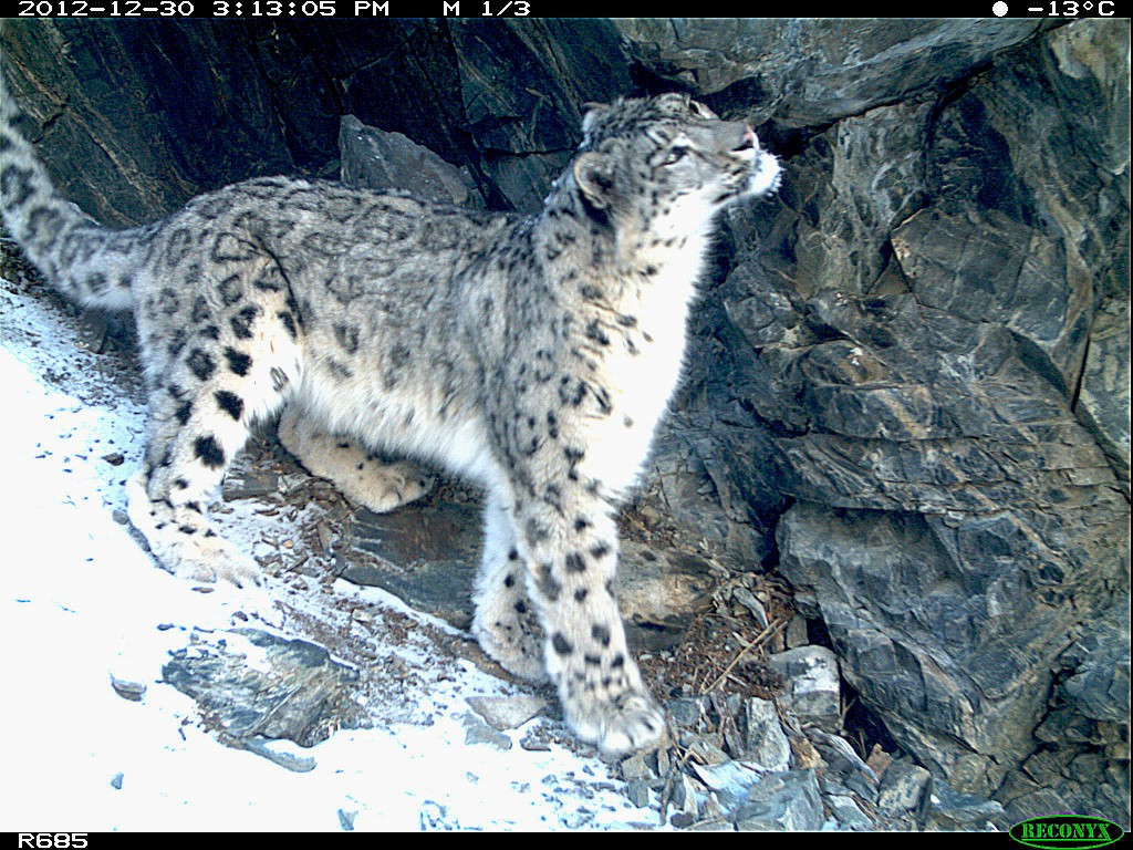 snow leopard rubbing cheek on rock