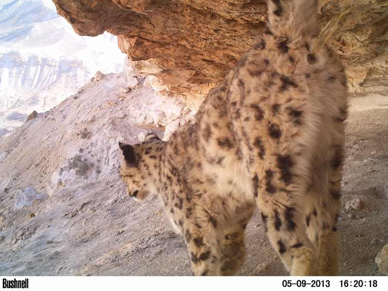 Snow leopard spraying rock